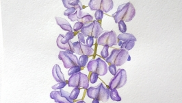 Глициния акварель, watercolor Wisteria